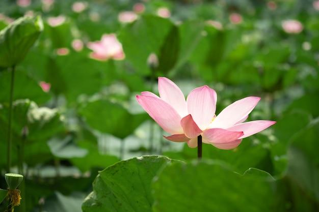 Zbliżenie piękny różowy lotos z zieleń liśćmi