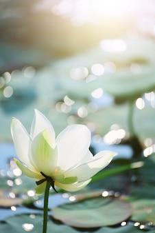 Zbliżenie piękny różowy lotosowy kwiat w stawie.