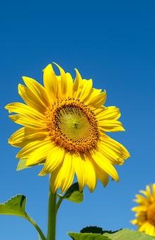 Zbliżenie piękny słonecznik kwitnie pod jasnym, błękitnym niebem w polu kwiatów, gospodarstwo wiejskie w pobliżu wzgórza, widok z przodu z miejsca kopiowania.