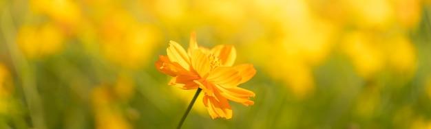 Zbliżenie piękny żółty kwiat kosmos w świetle słonecznym z miejsca kopiowania, używając jako tła krajobrazu roślin naturalnych
