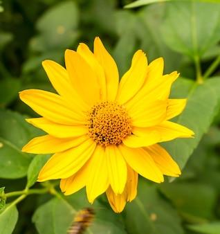 Zbliżenie piękny żółty kwiat stokrotki z zielonymi liśćmi