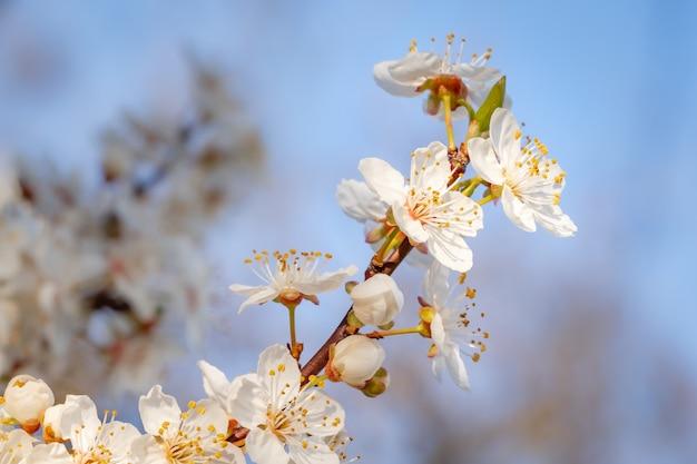 Zbliżenie pięknych białych kwiatów wiśni na drzewie