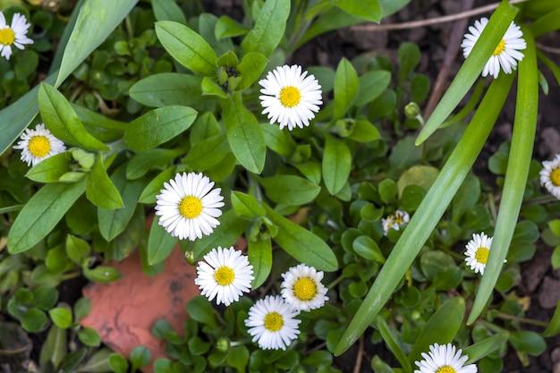 Zbliżenie pięknych jasnych stokrotek polnych z delikatnymi białymi płatkami i żółtym sercem kwitnącym między wystawnymi zielonymi liśćmi i pąkami niezapominajki. pojęcie piękna przyrody.
