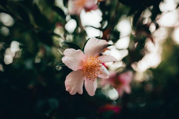 Zbliżenie pięknych kwiatów wiśni w ogrodzie
