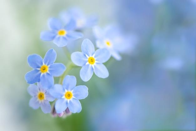 Zbliżenie pięknych małych niebieskich kwiatów niezapominajek
