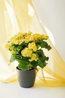 Zbliżenie pięknych żółtych kwiatów begonii w szarej doniczce