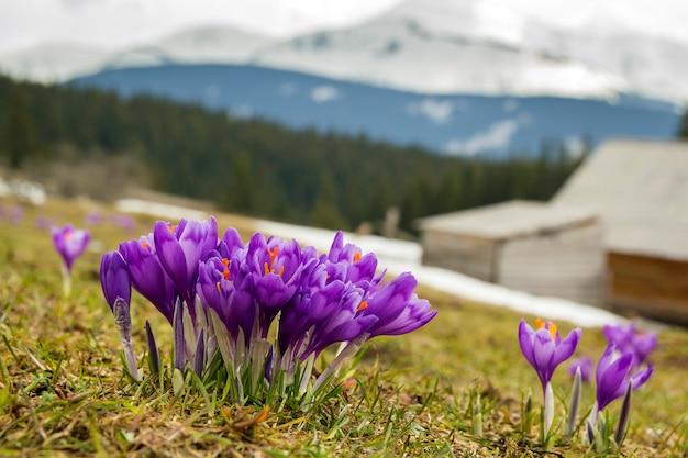Zbliżenie: pierwsze wiosenne kwiaty, fioletowe krokusy kwitnące w karpatach
