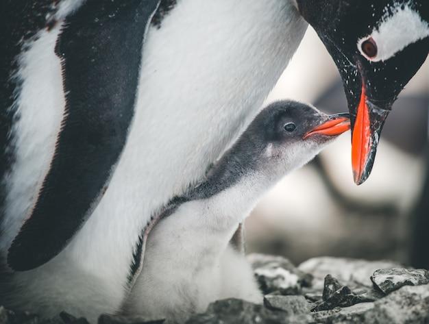 Zbliżenie pingwiny dorosłe i niemowlęce antarktyda dzikość pingwin matka troszczy się o dziecko biały