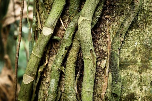Zbliżenie pnia drzewa i winorośli