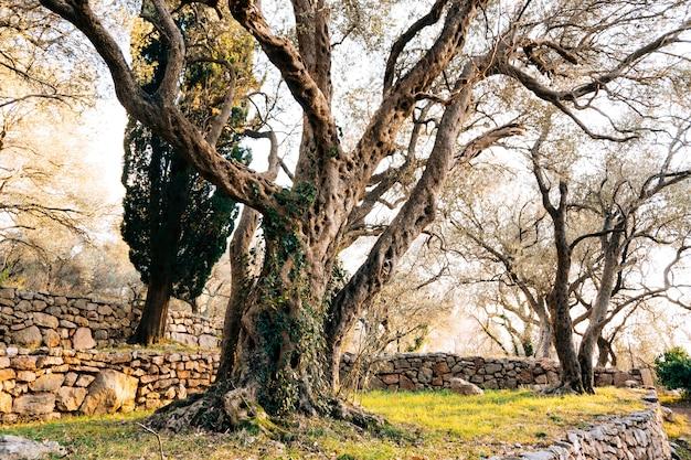Zbliżenie pnia drzewa oliwnych gajów oliwnych