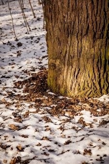Zbliżenie podstawy pnia drzewa otoczonego śniegiem i opadłymi liśćmi