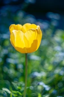 Zbliżenie pojedynczego żółtego tulipana, świecącego na naturalnym zielonym i blie rozmytym tle
