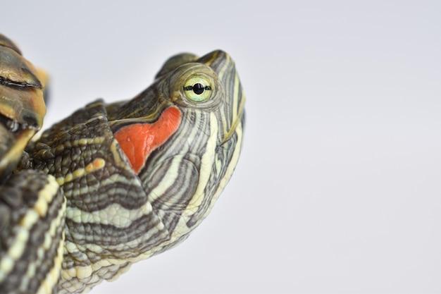 Zbliżenie pojedynczego żółwia czerwonawego na białej powierzchni światowy dzień żółwia 23 maja