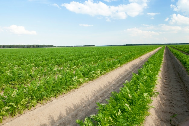 Zbliżenie pola uprawnego, na którym rosną zielone pędy marchwi