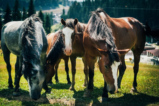 Zbliżenie portret czterech pięknych dzikich koni pasących się w górach na łące w słoneczny dzień