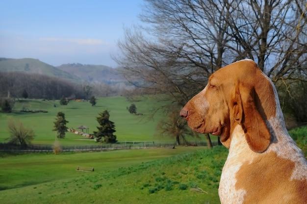 Zbliżenie portret dużego rasowego psa rasy bracco wskazującego na łące