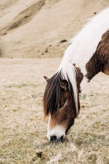 Zbliżenie portret konia. zjada suchą trawę z podłogi na polu