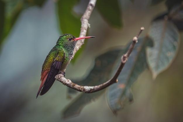 Zbliżenie portret pięknego malutkiego kolibra siedzącego na gałęzi drzewa w jego naturalnym środowisku