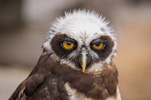 Zbliżenie portret słodkiego ptaka sowy patrząc do przodu