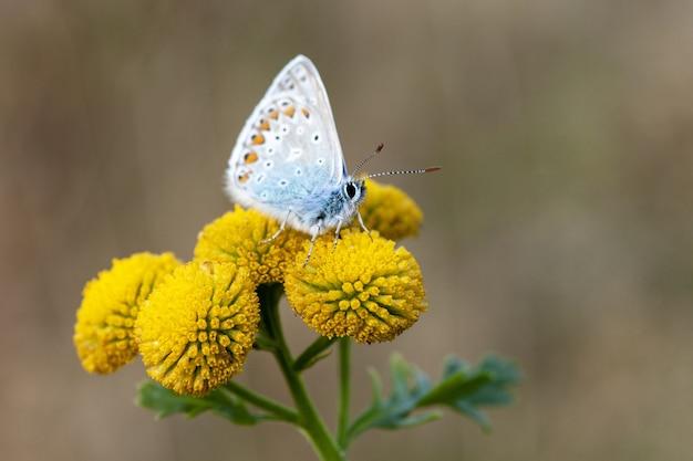 Zbliżenie pospolitego niebieskiego motyla na craspedii w świetle słonecznym