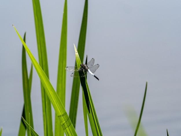 Zbliżenie pospolitego whitetaila na trawie