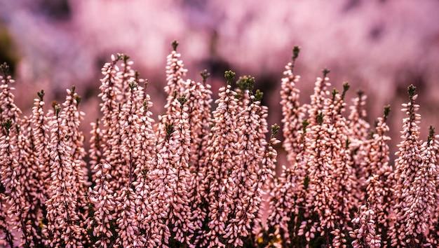 Zbliżenie pospolitych kwiatów wrzosu w polu