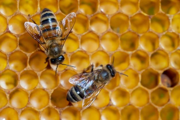 Zbliżenie pracujących pszczół na plastrach miodu