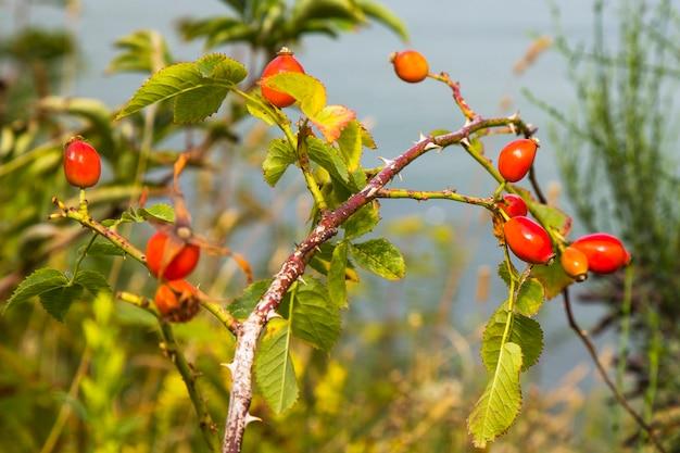 Zbliżenie: psia róża. dojrzałe czerwone jagody dzikiej róży na gałęzi w ogrodzie
