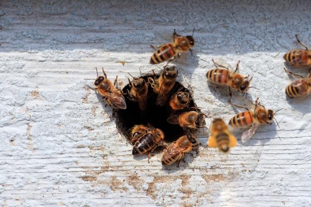 Zbliżenie pszczół miodnych wylatujących z dziury w drewnianej powierzchni w świetle słonecznym w ciągu dnia