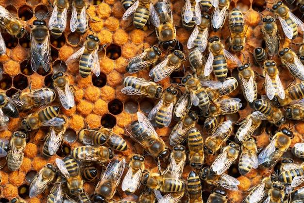 Zbliżenie pszczół pracujących na plaster miodu. obraz pszczelarstwa i produkcji miodu