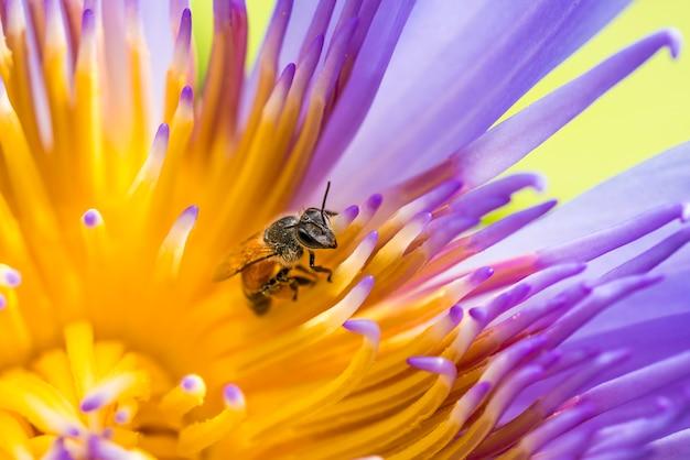 Zbliżenie pszczoła miodna zbierająca pyłek z żółtego kwiatu.