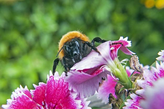 Zbliżenie pszczoły bombus dahlbomii na kwitnącym drzewie