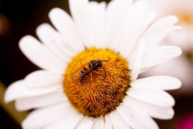Zbliżenie pszczoły miodnej siedzącej na pyłku stokrotki z miejscem na tekst