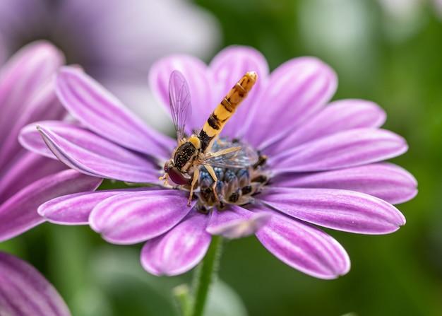 Zbliżenie pszczoły miodnej zajętej zbieraniem nektaru z afrykańskiego kwiatu stokrotki