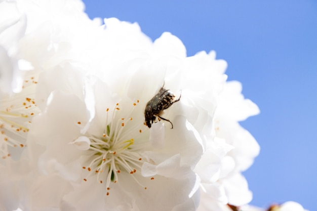 Zbliżenie pszczoły na białym kwiacie