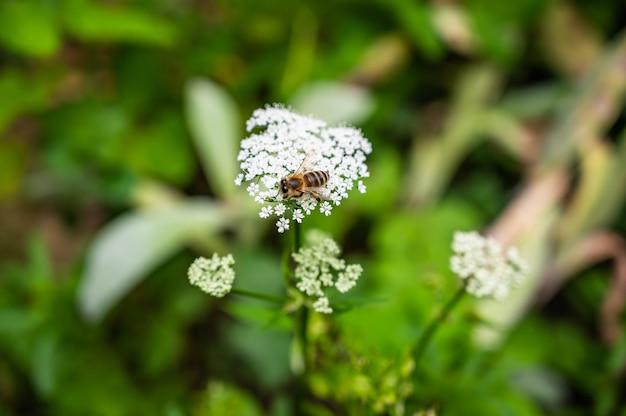 Zbliżenie pszczoły na krowie pietruszki w otoczeniu zieleni w polu pod wpływem promieni słonecznych
