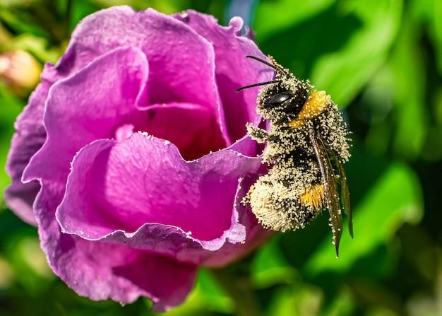 Zbliżenie pszczoły na różowej floribunda w polu pod światłem słonecznym