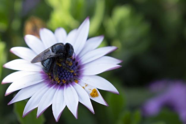 Zbliżenie pszczoły siedzącej na pięknej afrykańskiej stokrotce