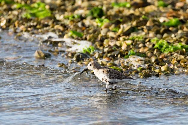 Zbliżenie ptaka siewki kentish z delta del po we włoszech, przyroda, obserwacja ptaków