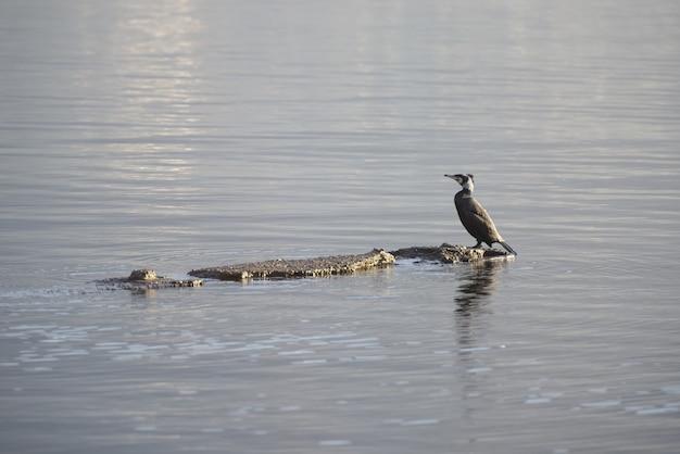 Zbliżenie ptaka stojącego na skale na środku jeziora