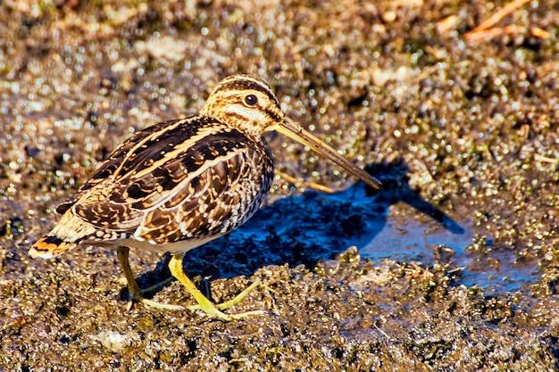 Zbliżenie ptaka z długim dziobem na błocie