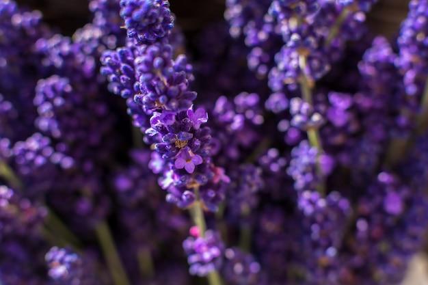 Zbliżenie purpurowa lawenda rozgałęzia się na zamazanym