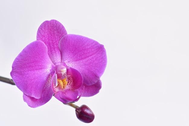 Zbliżenie purpurowej orchidei