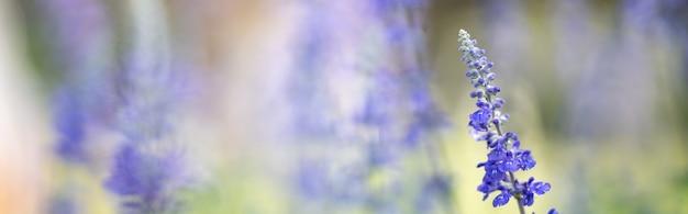 Zbliżenie purpurowy kwiat lawendy na niewyraźne tło gereen w świetle słonecznym z miejsca kopiowania, używając jako tła krajobrazu roślin naturalnych, koncepcja strony tytułowej ekologii.