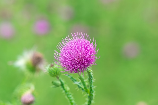 Zbliżenie: purpurowy kwiat ostu