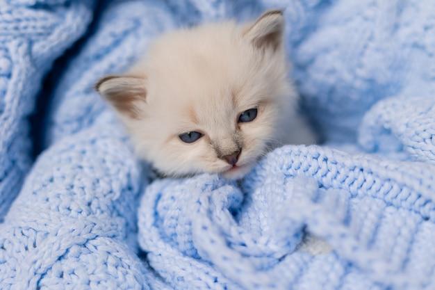 Zbliżenie pyska śpiącego brytyjskiego kotka srebrnego koloru pochowanego w niebieskim kocu z dzianiny