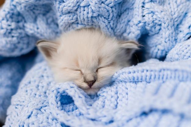 Zbliżenie pyska śpiącego kotka brytyjskiego krótkowłosego srebrnego koloru pochowanego w niebieskim kocu z dzianiny