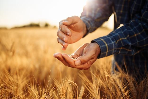 Zbliżenie rąk rolników z dojrzałych złotych ziaren