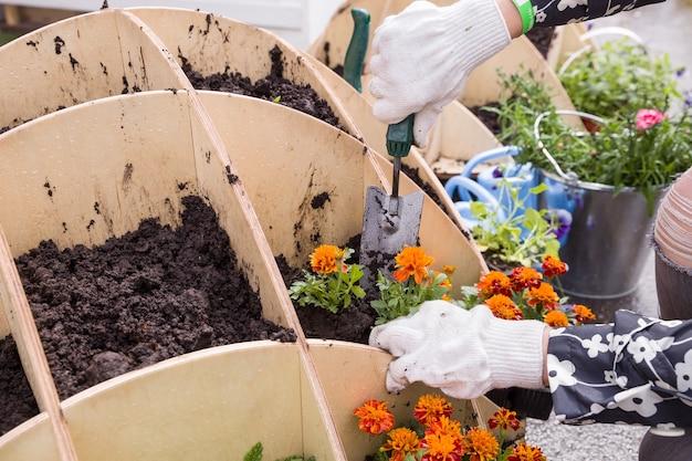 Zbliżenie ręce ogrodnika sadzenia małych kwiatów na podwórku na wiosnę.