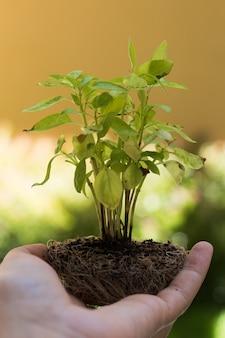 Zbliżenie ręki mienia basilu rozsada przygotowywająca przeszczepiająca. zielone tło